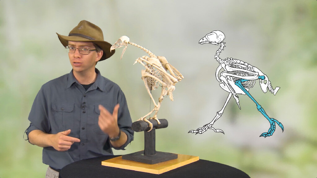 Theropod--Animation-of-Bird-Walking