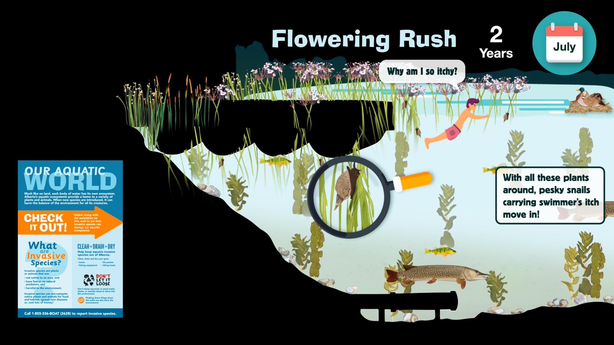 AIS-flowering-rush