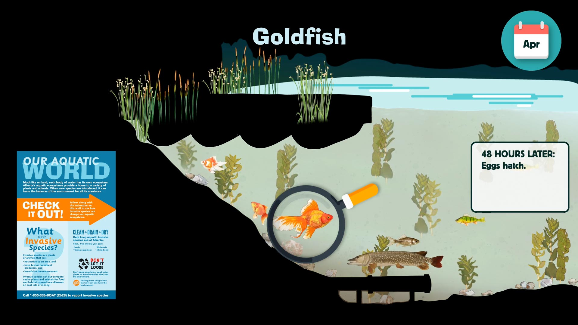 AIS-goldfish